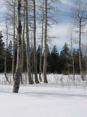 Image of aspen meadow